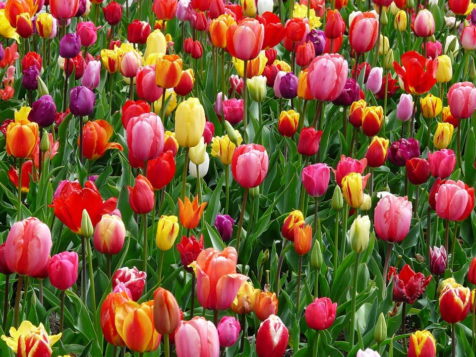 tulips-52125_960_720